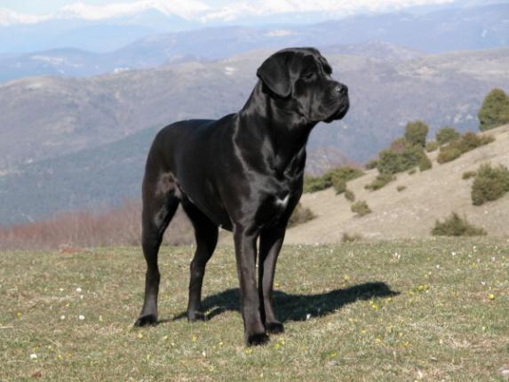 Migliori Cani da Guardia